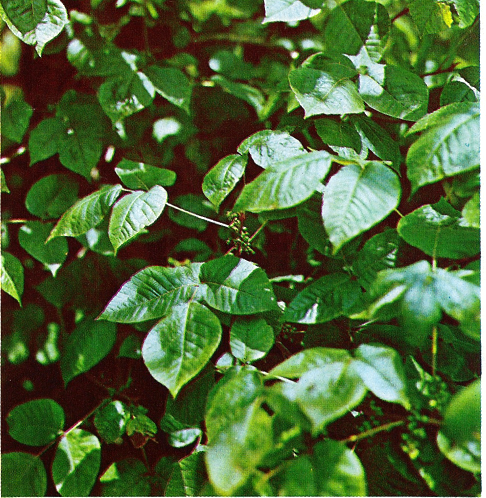 poison ivy vine pictures. poison-ivy. Rhus radicans