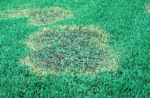 Leaves brown patches in st